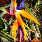 birds-of-paradise_12389913113_o